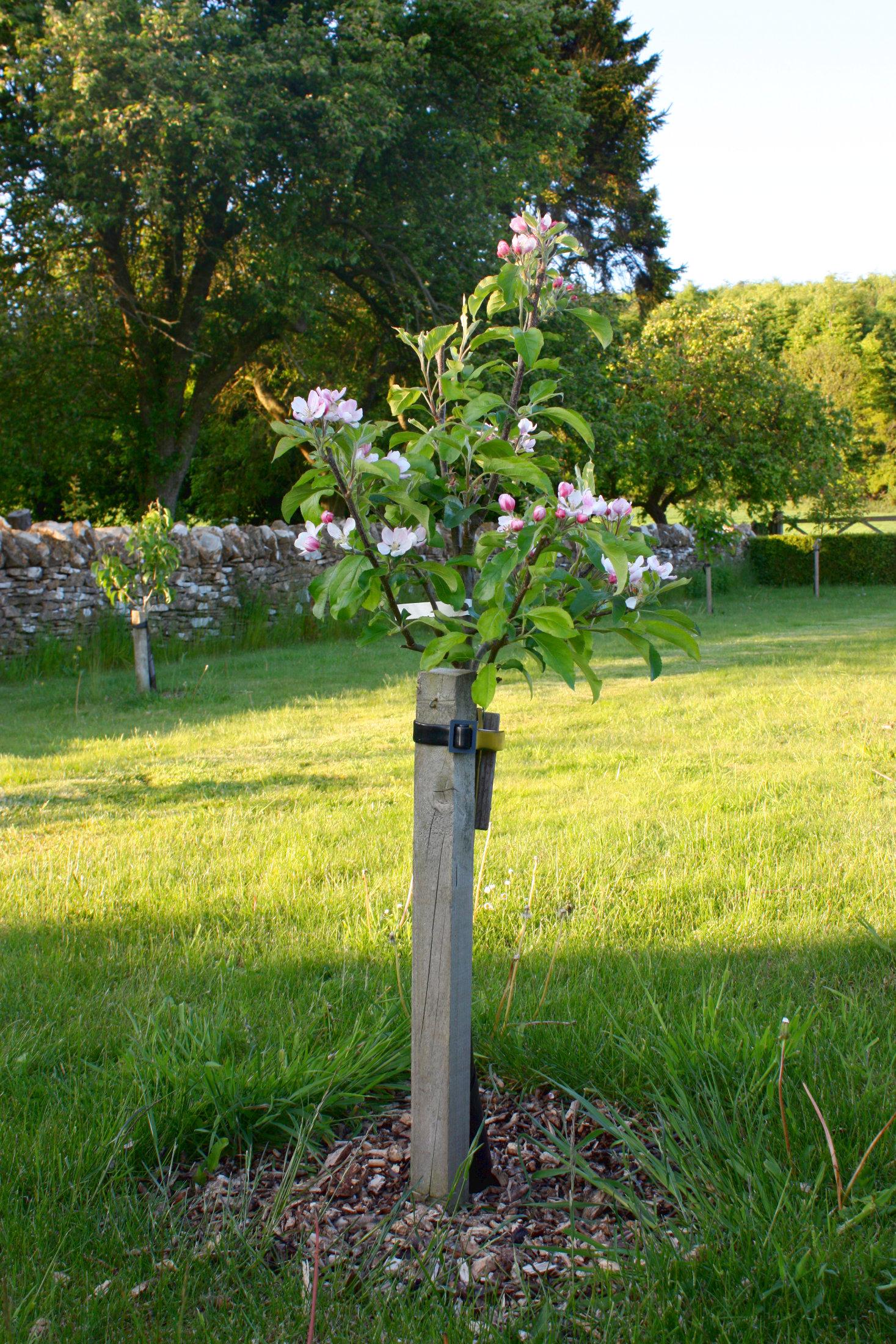 Einen Obstbaum pflanzen